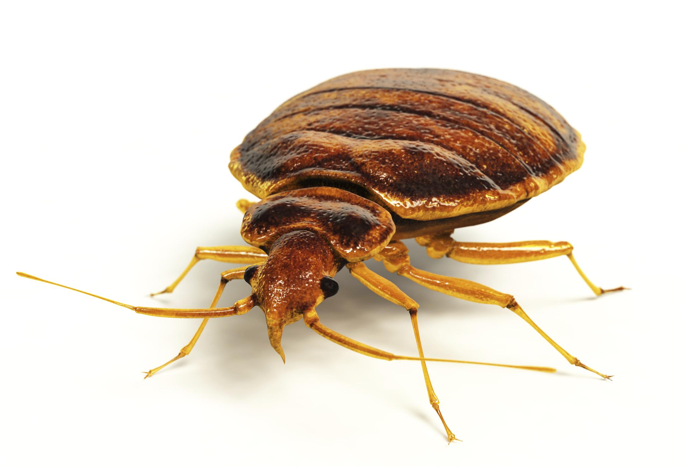 bed_bug1
