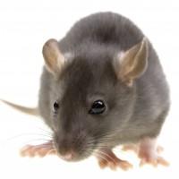 rato-cinza